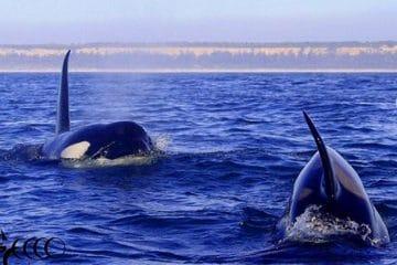 orques sur la côte de lisbonne